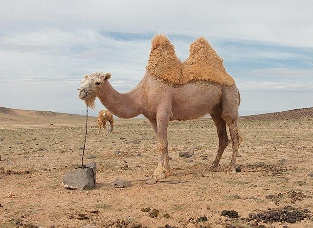 Spezialist für islamische Medizin will Corona mit Kamelurin heilen