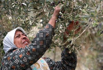 Geld für Mord gibt für Palästinenser dreimal so viel Geld wie Olivenöl-Einnahmen