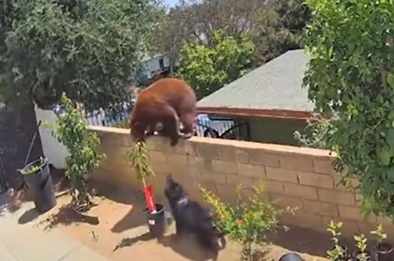 Teenager kämpft gegen Bären, um Hunde zu retten [Video]