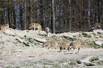 Der böse Wolf:  Märchen, Mythos, Wirklichkeit